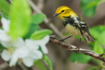 Black-throated green warbler in spring