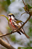 Chestnut-sided warbler in mid-May
