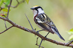 Chestnut-sided warbler portrait in mid-May