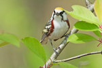 Chestnut-sided warbler in spring migration