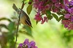 Worm-eating warbler among spring blooms