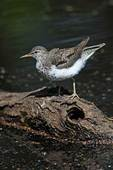 Spotted sandpiper in May