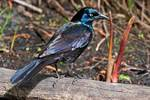 Boat-tailed grackle in May