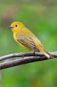 Female yellow warbler in spring