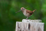 House wren with nesting material