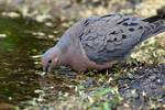 Mourning dove drinking at pond's edge