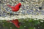 Northern cardinal at pond's edge
