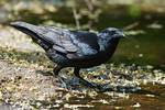 American crow at pond