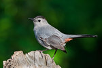 Gray catbird in spring