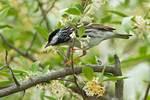 Blackpoll warbler in spring migration