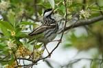 Blackpoll warbler in spring