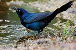 Boat-tailed grackle drinks at pond
