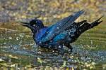 Boat-tailed grackle bathing in spring