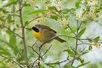 Male common yellowthroat in spring plumage,