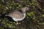 Preening spotted sandpiper on fresh water pond