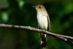 Willow flycatcher portrait in late May