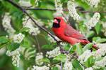 Northern cardinal in blooming black cherry tree,