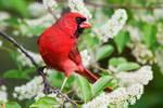 Northern cardinal in blooming black cherry tree