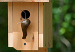 House wren with nesting material at nest box