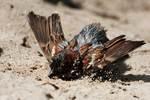 House sparrow dust bath after bathing