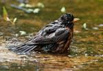 American robin bathing in early June