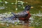 american robin bathing