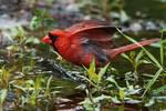 Northern cardinal at June pond