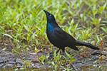 Common grackle in display pose