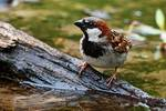 Male house sparrow at pond's edge