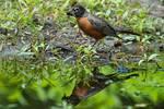 American robin gathering nesting material