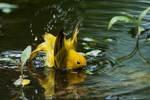 Bathing male yellow warbler