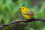 Male yellow warbler in early June