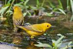 Yellow warblers at June pond