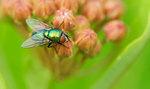 Greenbottle fly on common milkweed