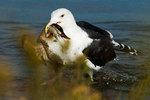 Great black-backed gull capturing a ruddy duck
