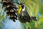 Yellow-throated warbler foraging during spring migration