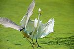 Great egret chasing black-crowned night heron
