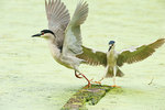 Adult black-crowned night heron altercation
