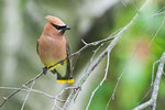 Cedar waxwing in early July