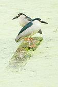 Two adult black-crowned night herons on pond,