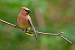 Cedar waxwing in summer