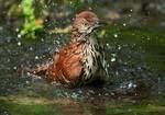 Bathing brown thrasher