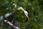 Great egret in summer birch woods