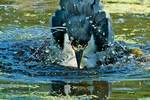 Bathing black-crowned night heron bathing