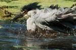 Black-crowned night heron bathing on hot summer day
