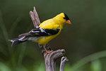 Male American goldfinch in July