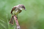 Willow flycatcher in summer