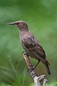 European juvenile starling in mid-July