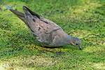 Mourning dove drinking on duckweed-covered pond,