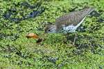 spotted sandpiper with water insect